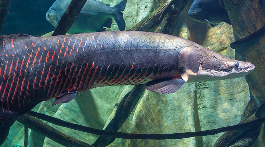 Опасные и ужасающие твари Амазонки
