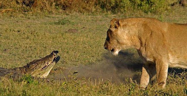 Львы наказали аллигатора