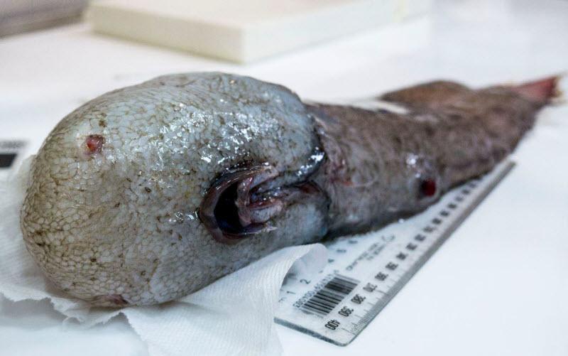Безликого монстра выловили у западного побережья Австралии