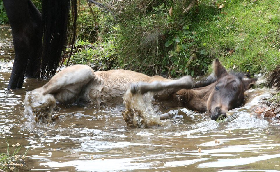 Первое купание Дартмурского пони