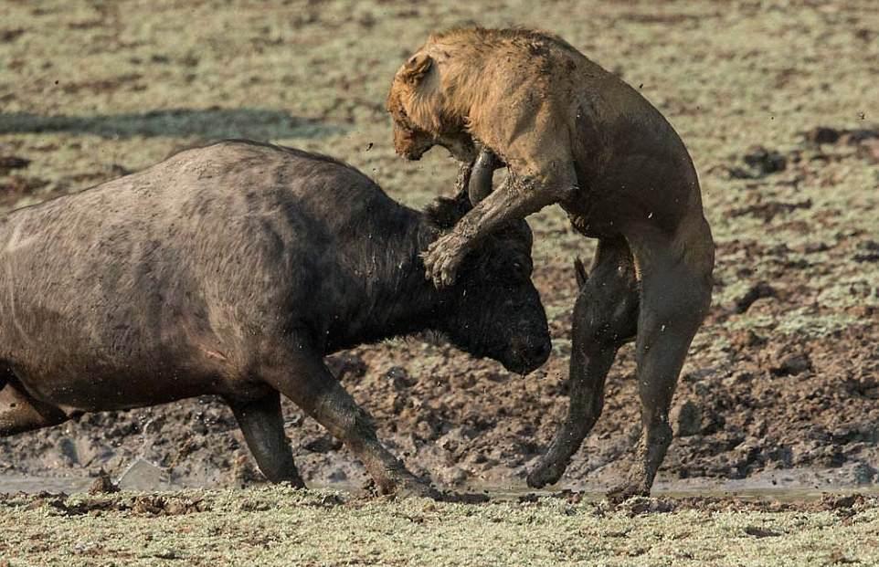 Смертельная схватка львов с буйволом