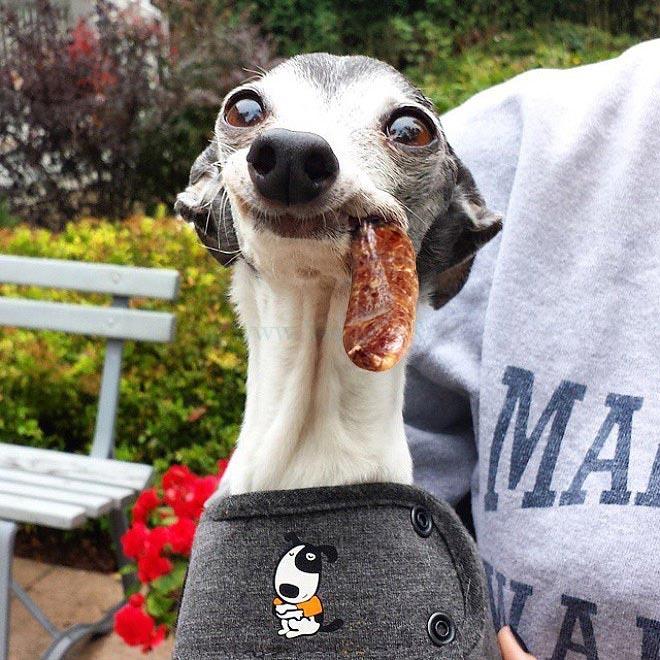 Смешной пес с торчащим языком в фотожабах