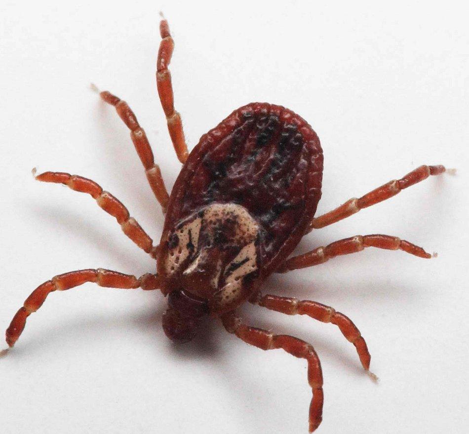 25 самых опасных насекомых на планете