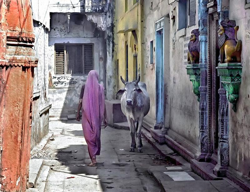 Неприкосновенное животное в Индии