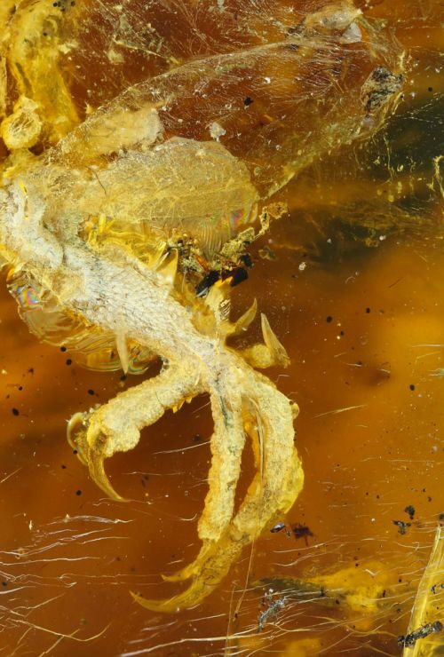 В янтаре обнаружили древнюю птицу