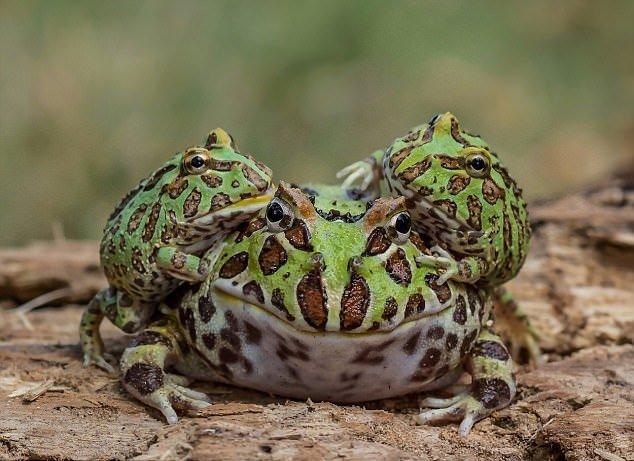Акробатические трюки лягушек