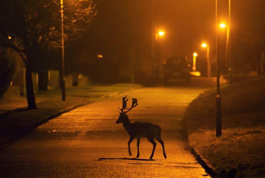Фотограф выслеживает диких животных на улицах городов