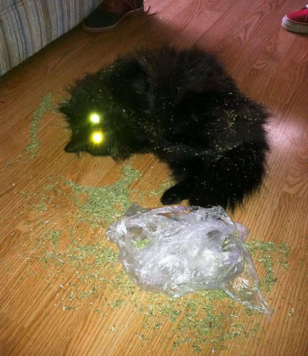 Пьяные коты и кошачья мята