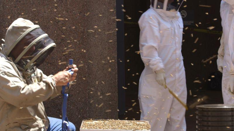 Рой пчел заблокировал вход в здание на Манхэттене
