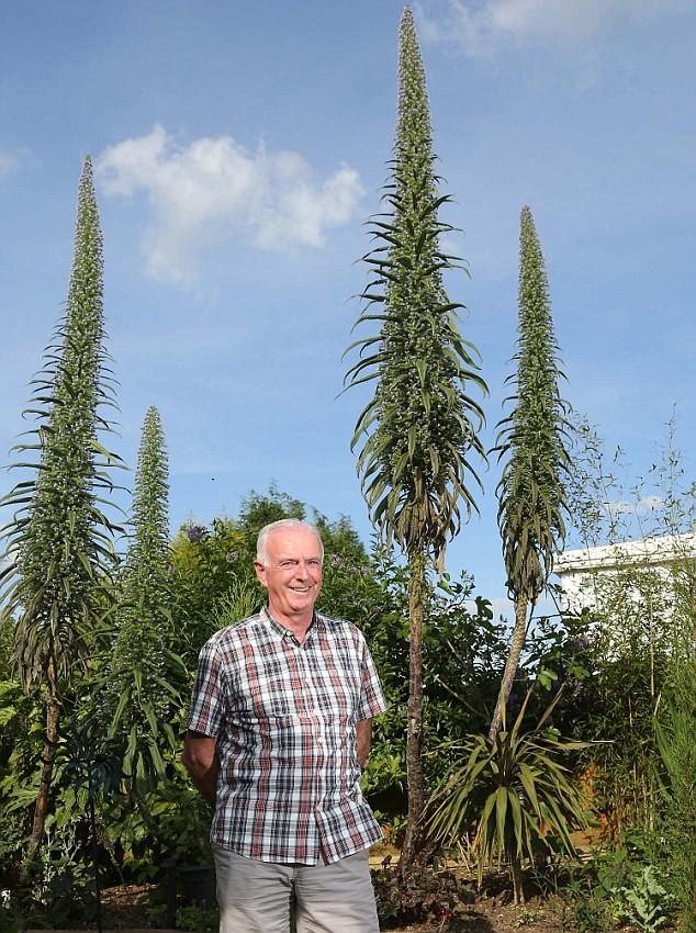 Эхиум - удивительный сорняк