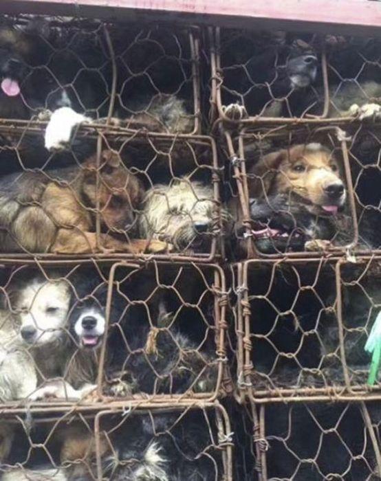 В Китае спасли 1000 собак, которых везли на убой