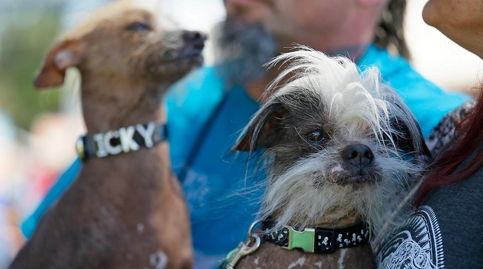 В Калифорнии выбрали самую уродливую собаку в мире