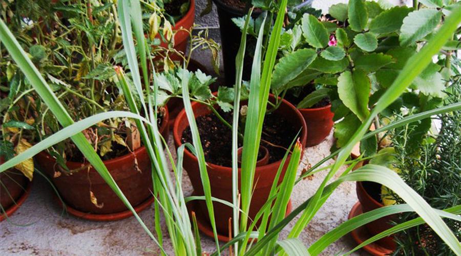 Растения, которых боятся комары
