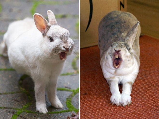 Зевающие кролики - довольно пугающее зрелище