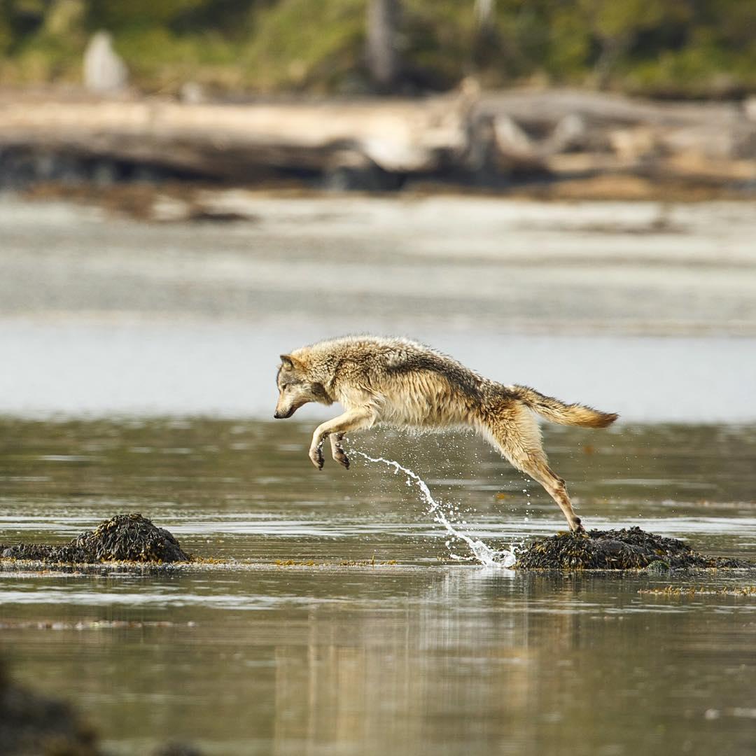 волк и море картинки фото, пингвины фоне