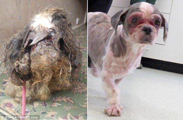 Когда волонтёры нашли эту собаку, они сначала не поняли что это