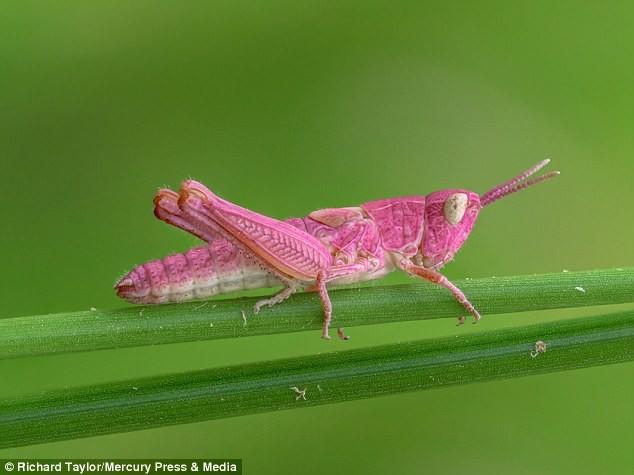 Розовый кузнечик