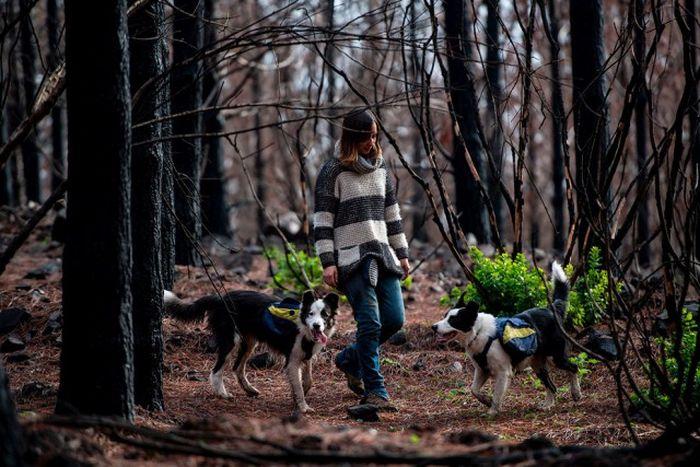 Четвероногие озеленители в Чили