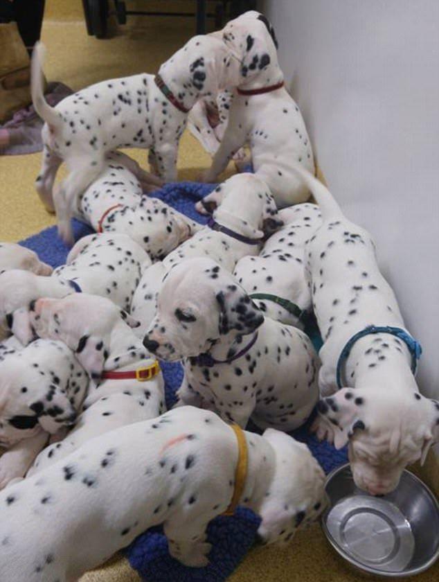 Собака далматин побила рекорд по количеству щенков