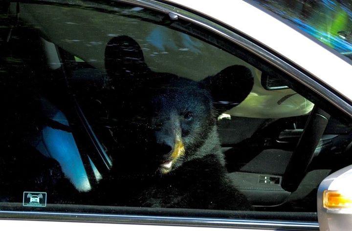 Медведь похозяйничал в автомобиле