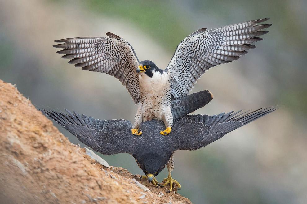Потрясающие фотографии птиц с конкурса Audubon Photography Awards 2017