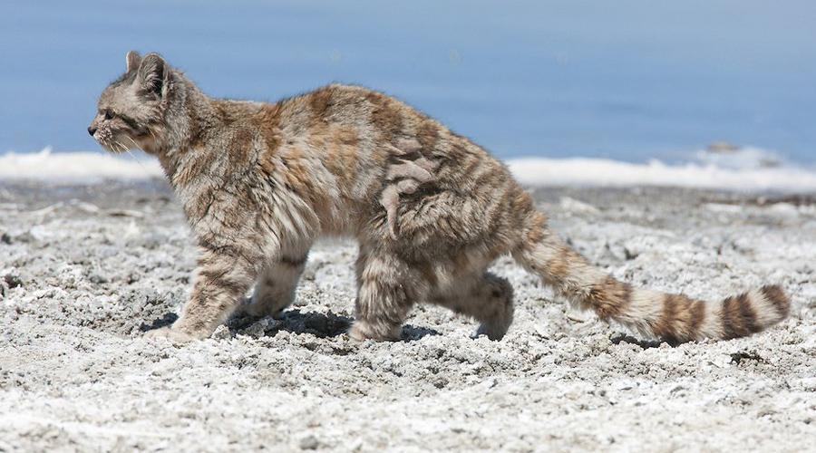 10 редких диких котов, о которых мало кто слышал