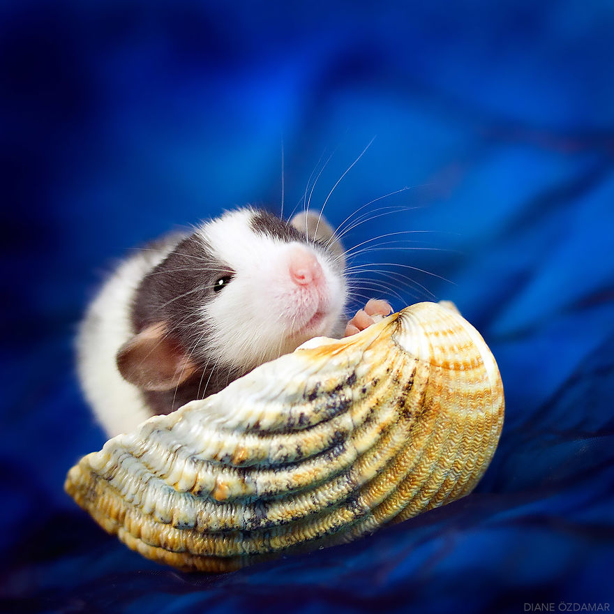 Снимки домашних крыс, доказывающие, что они милахи