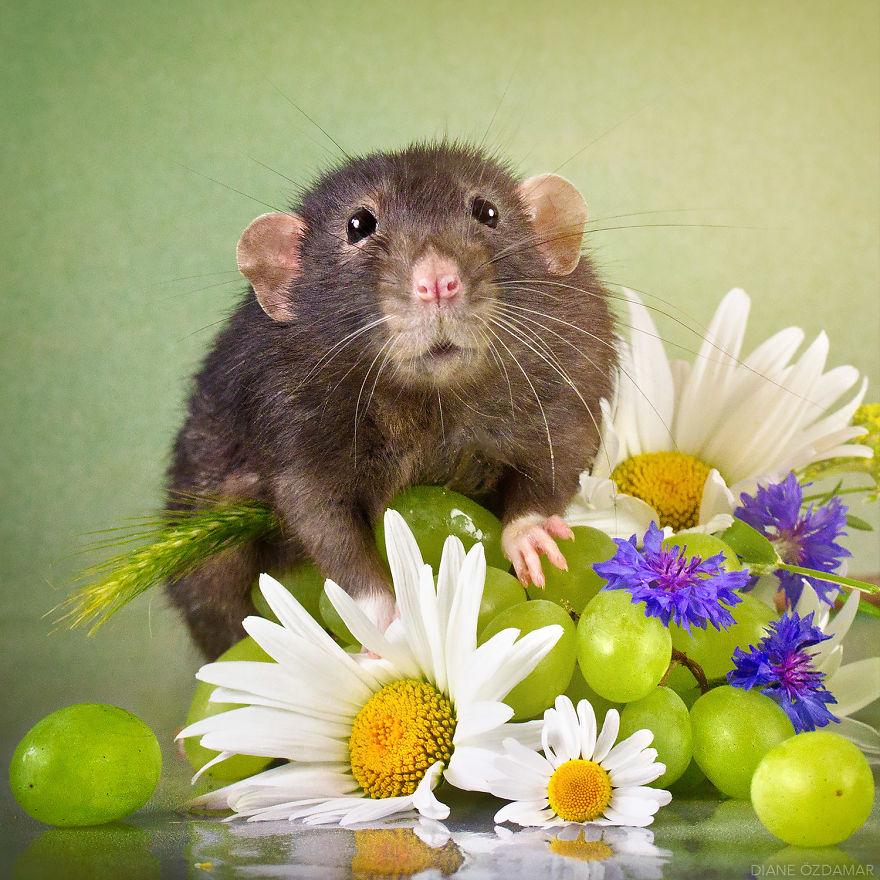 видим, крысы красивые фото своевременной диагностики заболевания