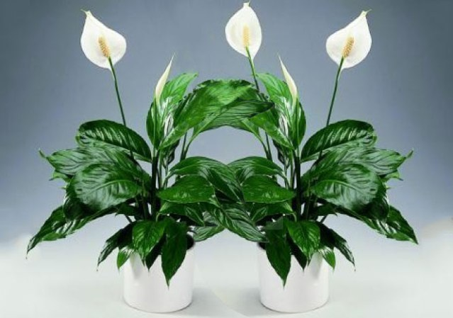 Энергетически сильные комнатные растения