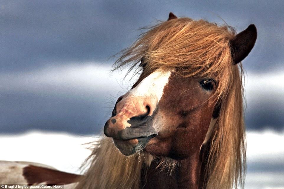 Дикие лошади на снимках исландского фотографа