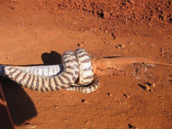 Схватка змеи и игуаны