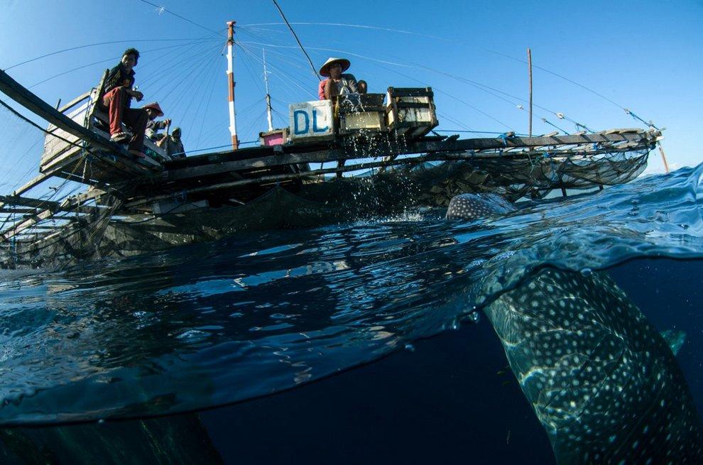 Плавание с китовой акулой