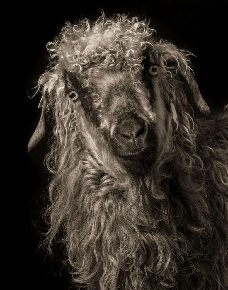 Удивительные студийные портреты коз от Кевина Хорана