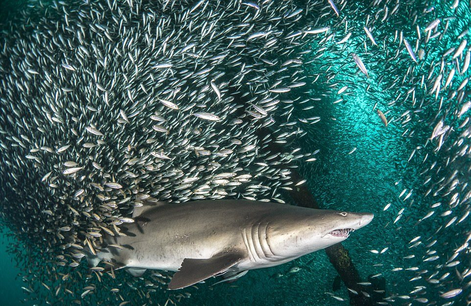 Акулы проплывают через косяк рыб