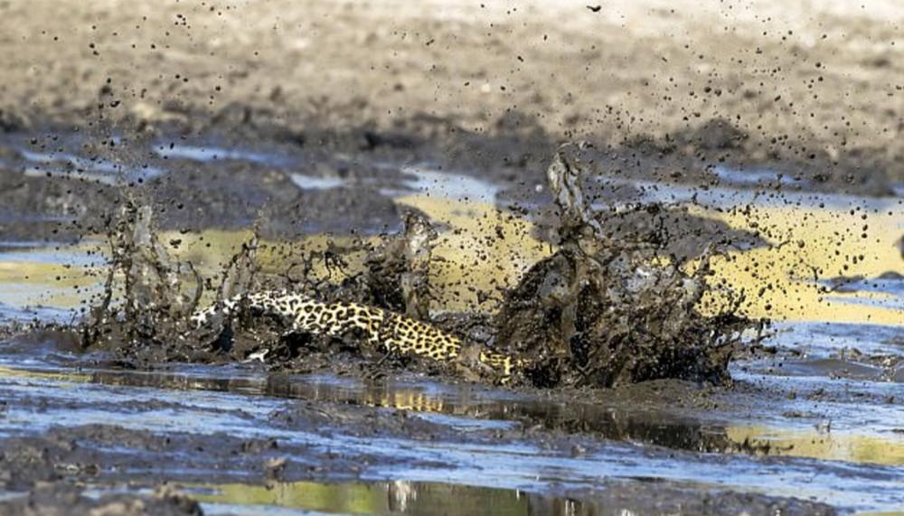 С трудом леопард выловил рыбку из пруда