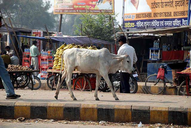 Как бездомные коровы стали проблемой в Индии