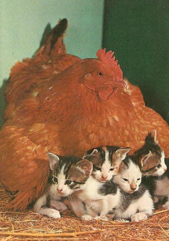Курицы — самые заботливые мамы в животном мире