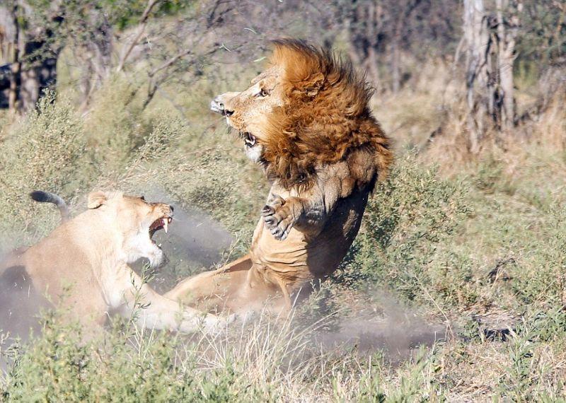 Львицы закатили скандал загулявшему льву