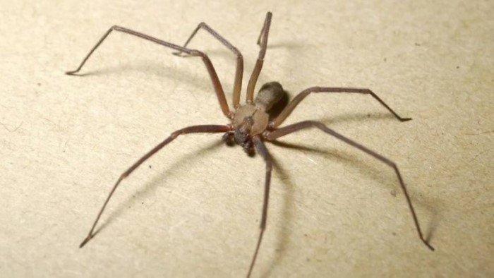 Пять самых опасных пауков на планете