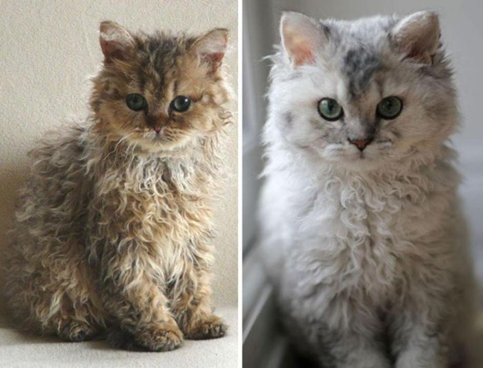 Милые котята породы селкирк-рекс