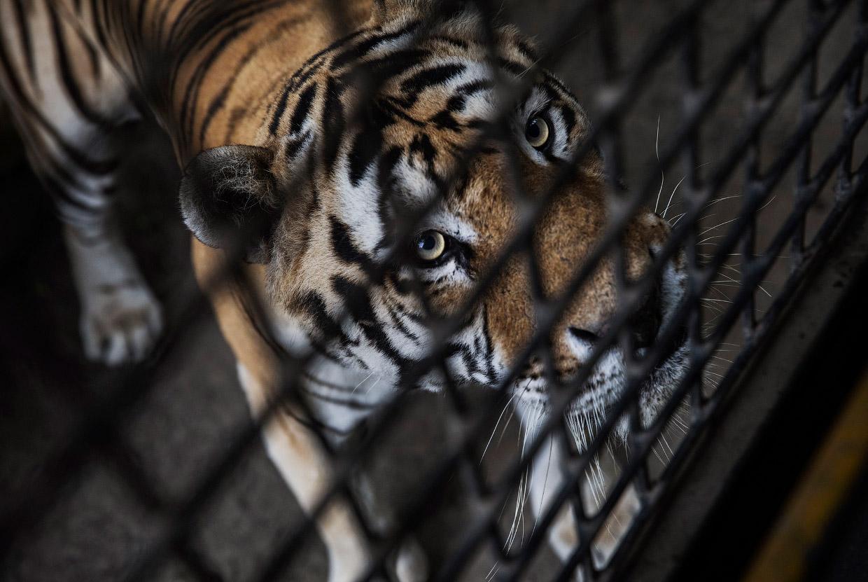 Китайская ферма по разведению амурских тигров