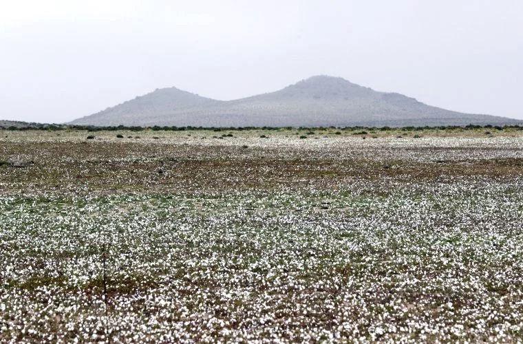В самой засушливой пустыне распустились цветы