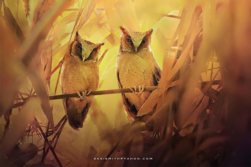 Очаровательные совы в объективе Sompob Sasi-Smit