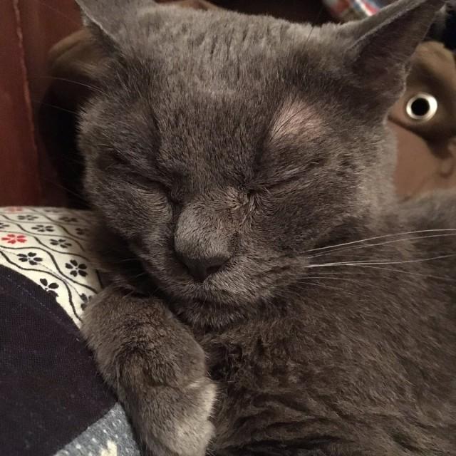 Недовольная японская кошка по кличке Шамо