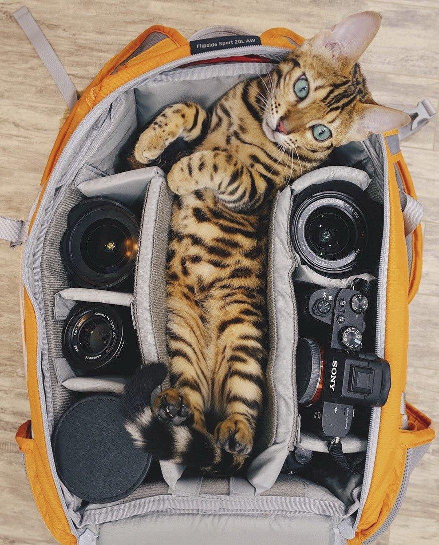 Бенгальская кошка Suki, которая любит путешествовать