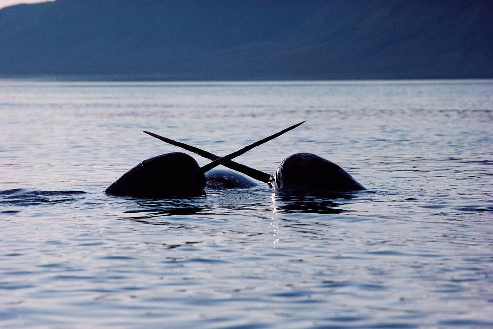 Нарвалы – морские единороги