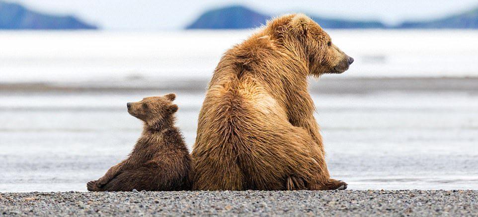 Мать-медведица защитила медвежат от незваного гостя