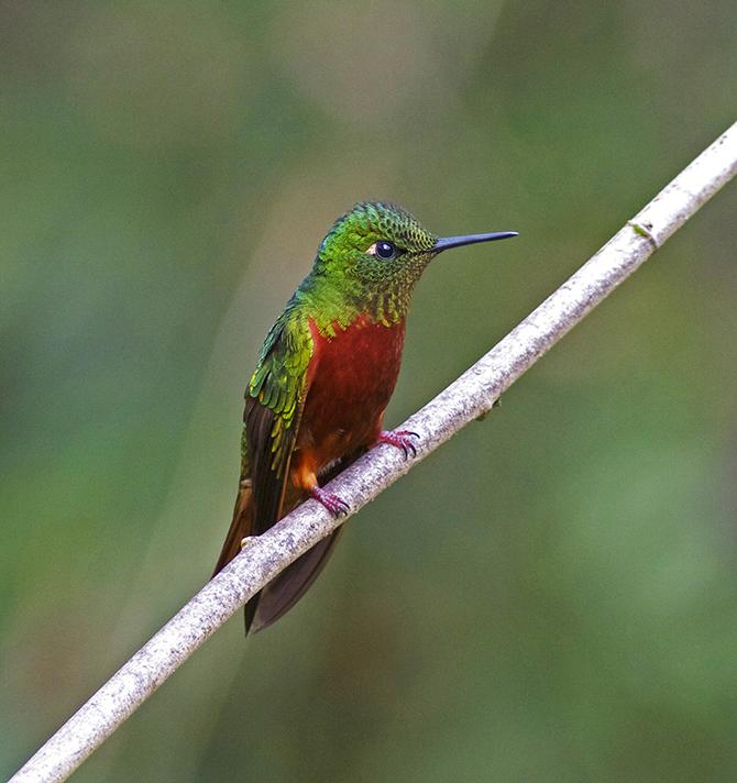 Самые красивые виды колибри