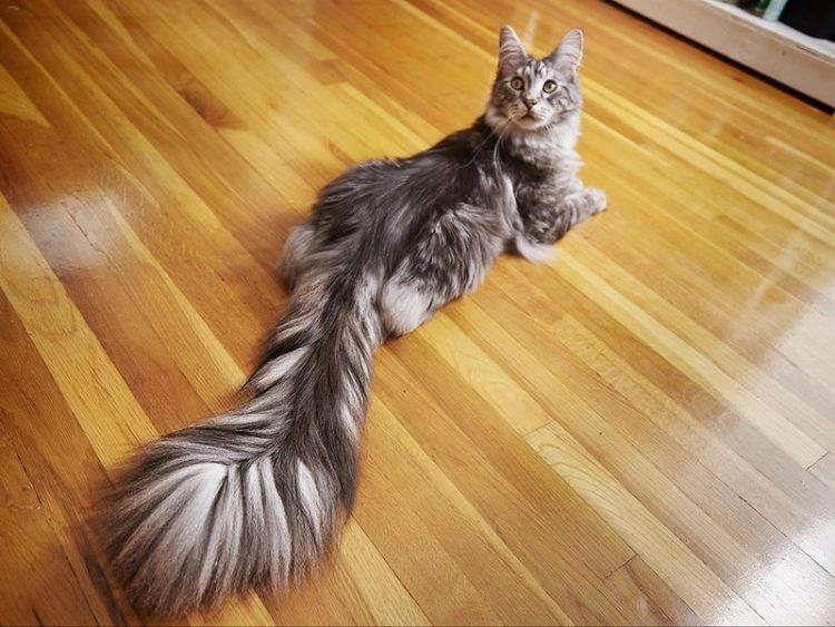 Домашний кот с самым длинными в мире хвостом