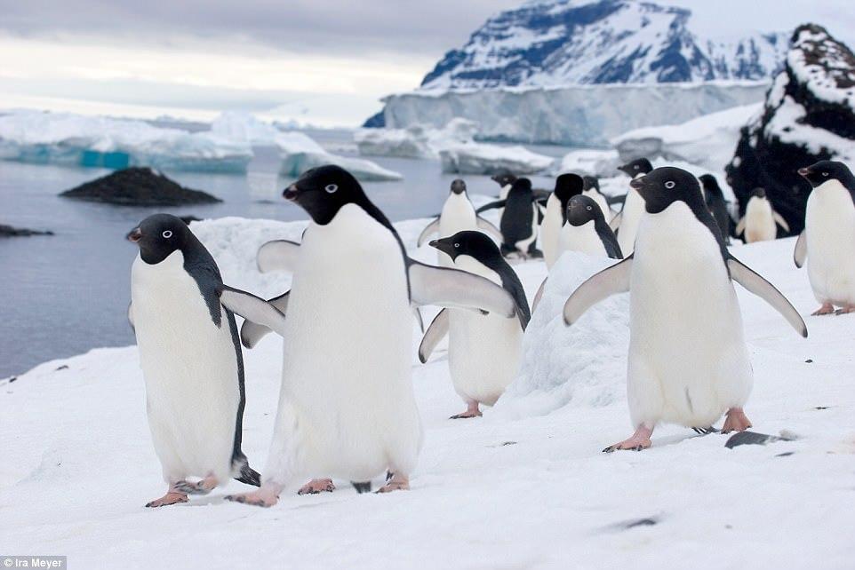Очаровательные пингвины в объективе Айры Мейера